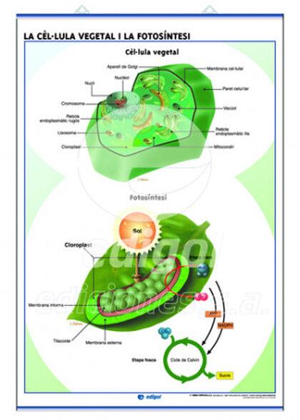 Edigolc lc cèl-lula animal /fotosíntesis